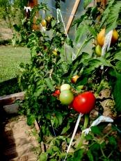 tomatoes © trashbus/Renata Britvec, 2013