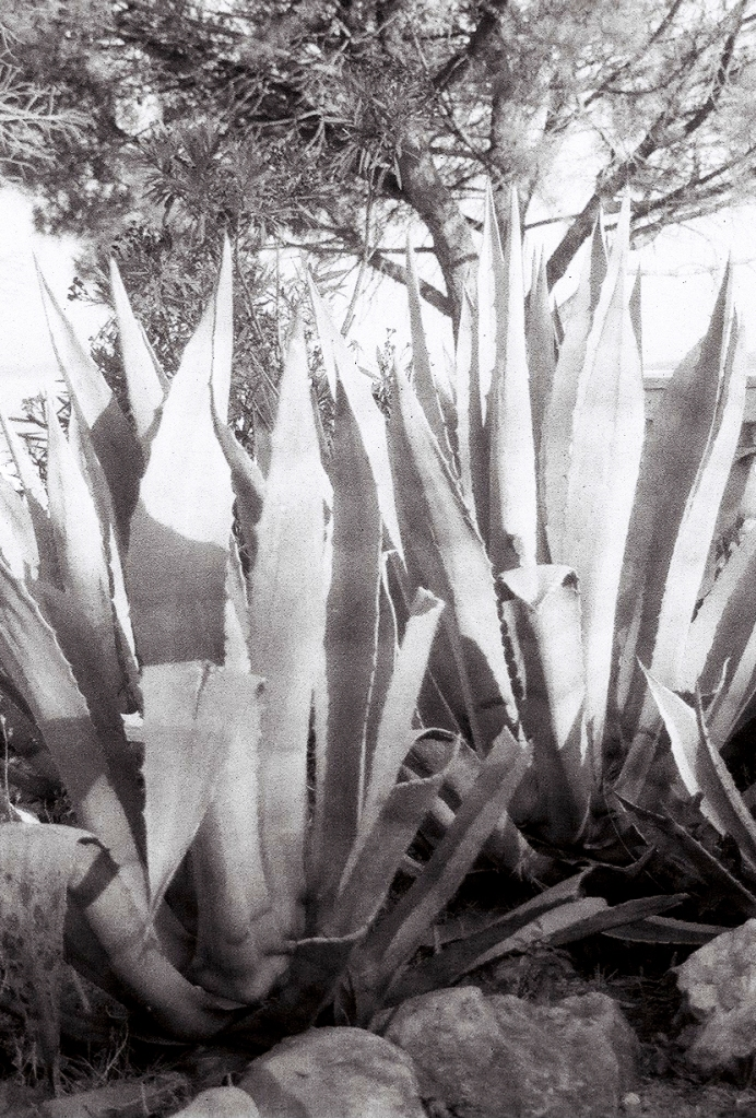 Croatia. Crikvenica. Agaves and Pine. © trashbus, 2016