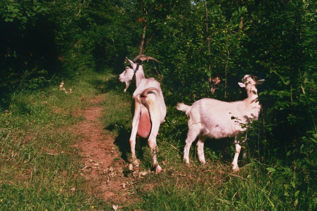 Bosnia. Ljepunice. Goats. © trashbus, 2016