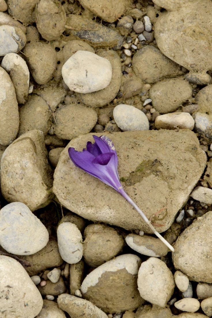 Purple Crocus. The River Told Me About It. River Lech, Augsburg, Germany. 2018. © Trashbus ǀ Renata Britvec