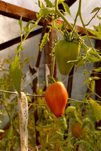 Tomatos in Greenhouse. Short Hellos & Long Goodbyes. LipnicaTuzla, BiH. 2017 © Trashbus ǀ Renata Britvec